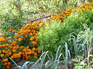 Try companion planting as a form of organic pest control