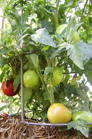 Do you know how to grow organic tomatoes in your home garden?