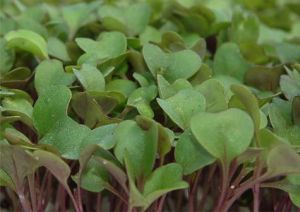 Microgreens are the plants' first tender sprouts, and contain a high concentration of vitamins and minerals