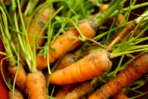 Growing organic carrots in containers is easier than you might think